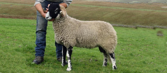 Swalesale Champion Stoneside Shepherds Meet