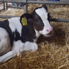 Using Genomics to Improve Dairy Performance